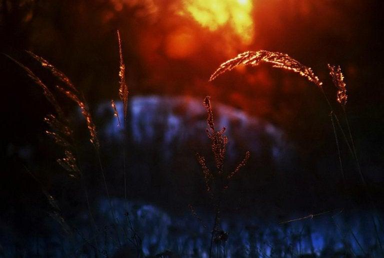 夕焼けに見える麦