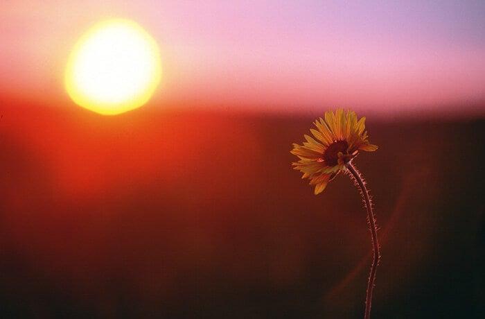 夕暮れと一輪の花
