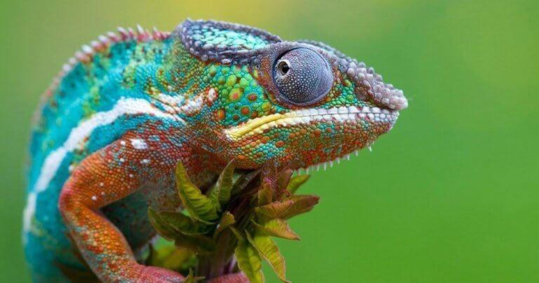 虹色のカメレオン