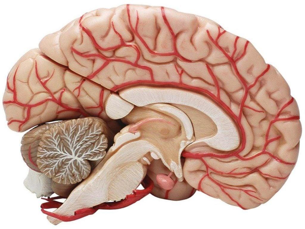 脳の断面図