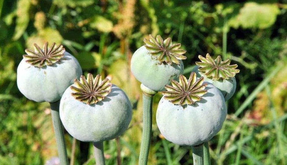 オピオイドの花