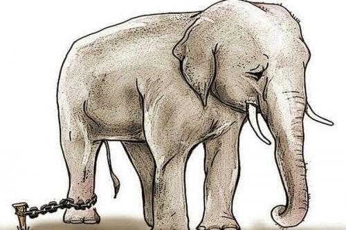 つながれた象