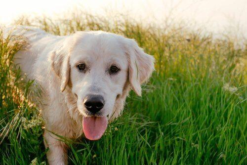 クリーム色の犬