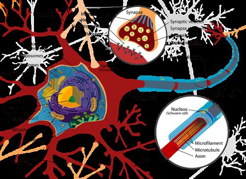 ニューロン しくみ