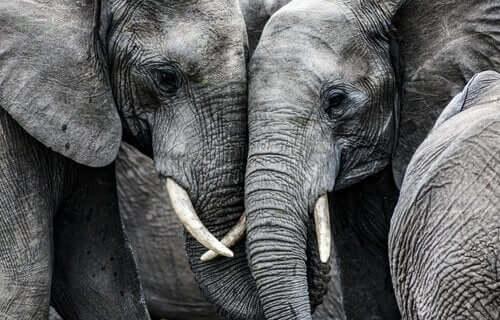 本当にあった話 死を悲しむ ゾウの群れ