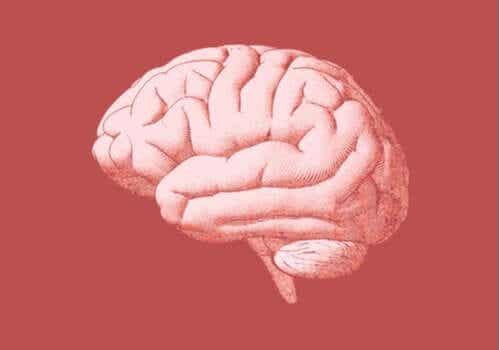 人間の後脳:その構造と機能とは?