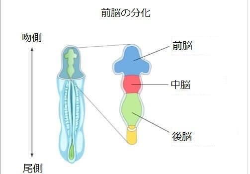 後脳 構造 機能