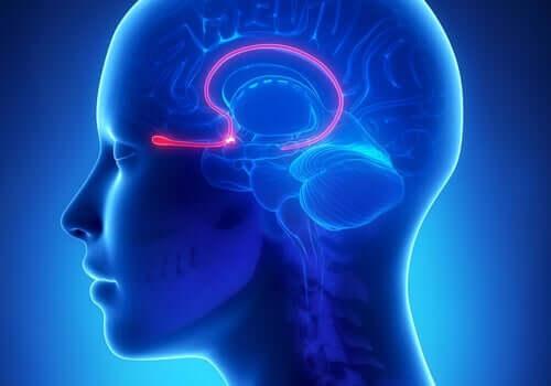 脳の重要な領域:嗅球の機能と特徴