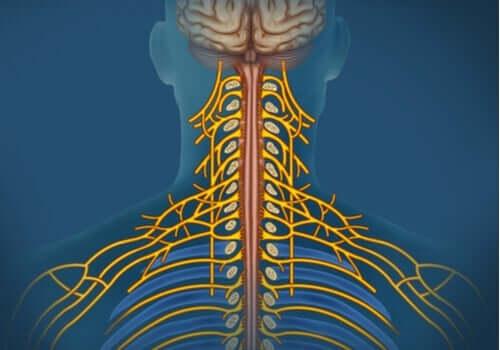 体性神経系:特徴と機能