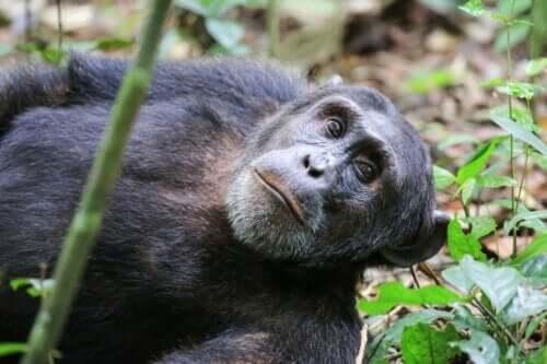 興味深いチンパンジー実験、ワショー・プロジェクト