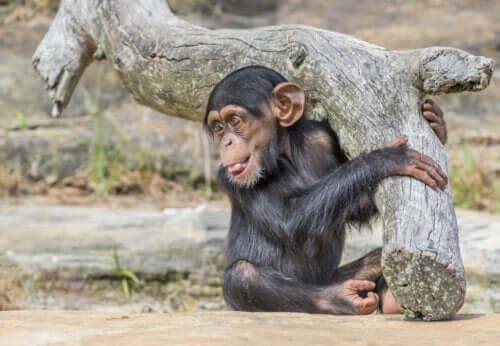 チンパンジー実験 ワショー・プロジェクト